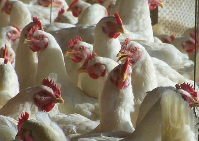 Las granjas avícolas sufren un elevado grado de resistencia a los antibióticos