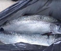 Abuso de antibióticos en las piscifactorías chilenas de salmón
