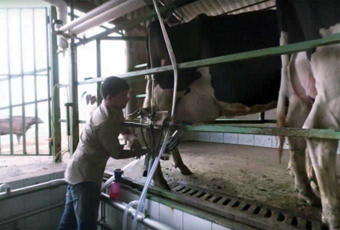 Situación de vacas y terneros en las granjas de producción intensiva