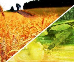 Los insectos provocarán una reducción de la producción alimentaria