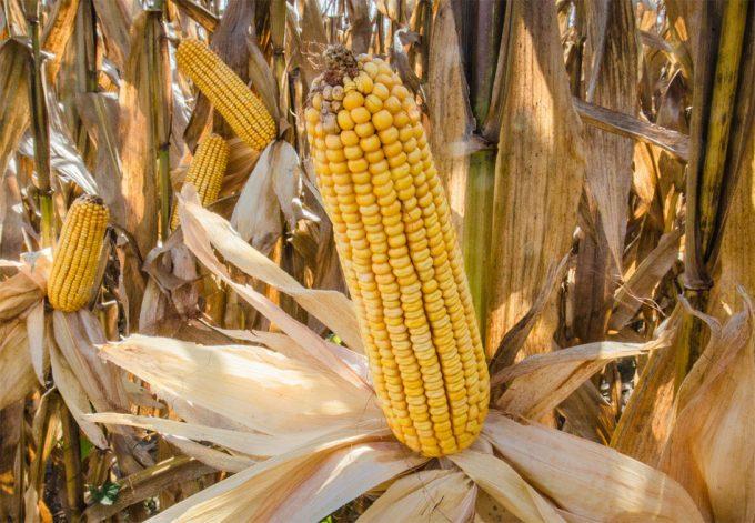 Reducción de la producción mundial de alimentos por las plagas de insectos