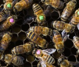 El glifosato es un herbicida que puede afectar a la flora intestinal de las abejas