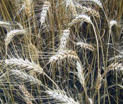 Cualquier cereal integral es efectivo para prevenir la diabetes tiipo 2