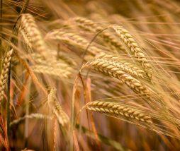 El cambio climático reduce la calidad nutricional de los alimentos vegetales