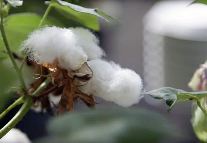 Semillas de algodón modificadas genéticamente aptas para consumo humano