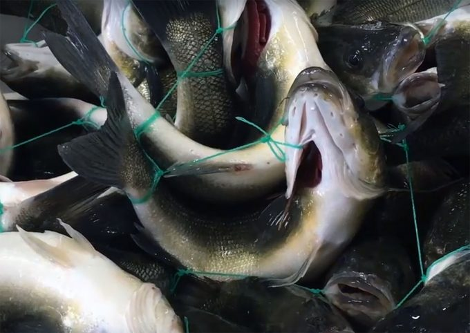 Essere Animali denuncia la falta de bienestar animal en los peces de piscifactoría