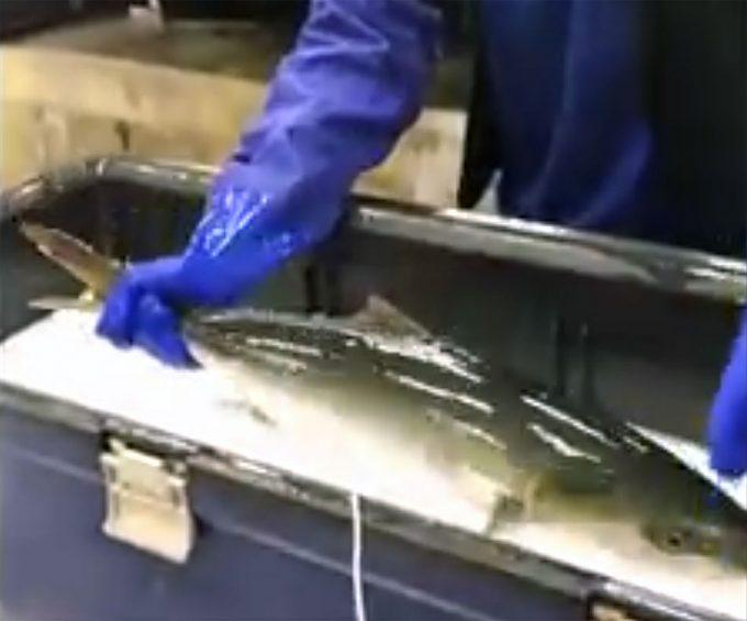 Pescado ralentizando su metabolismo por el frío