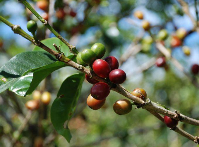 Producción de café en Australia