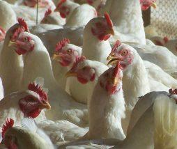 Alimentando el problema. La peligrosa intensificación de la ganadería en Europa