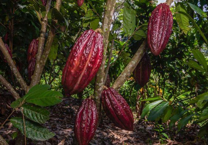 Cacao sostenible