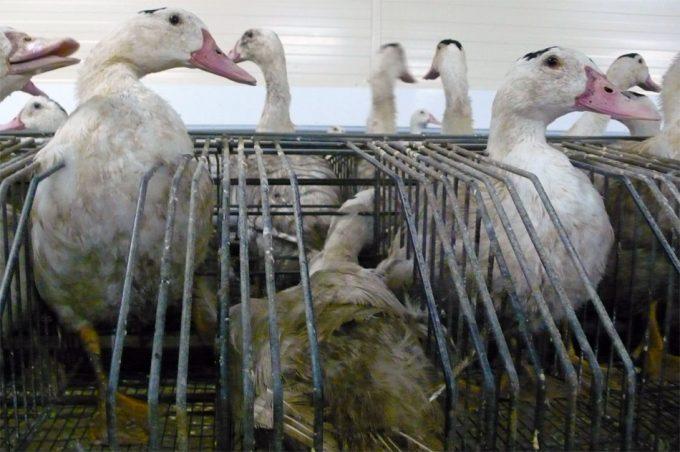 Foie gras a base de células