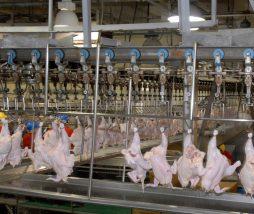Pollo estadounidense lavado con cloro