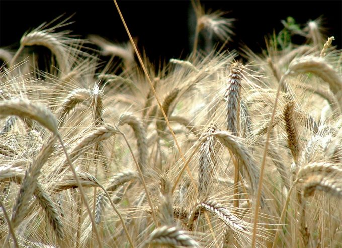 Cambio climático y rendimiento de los cultivos