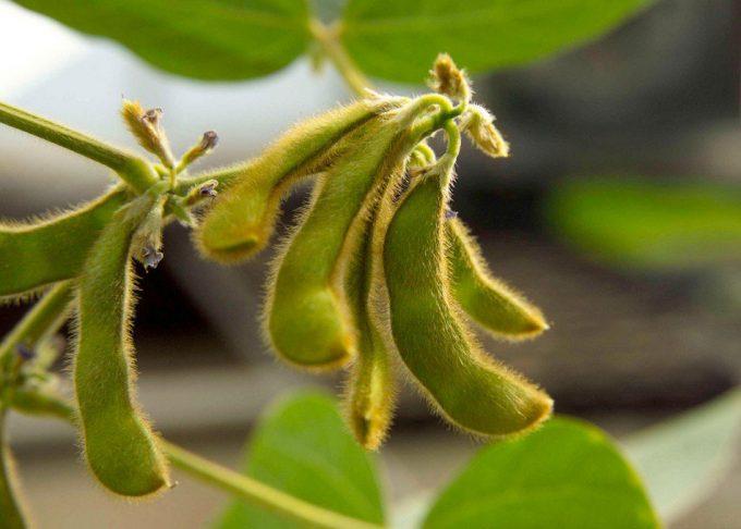 Reino Unido se abre a los alimentos biotecnológicos
