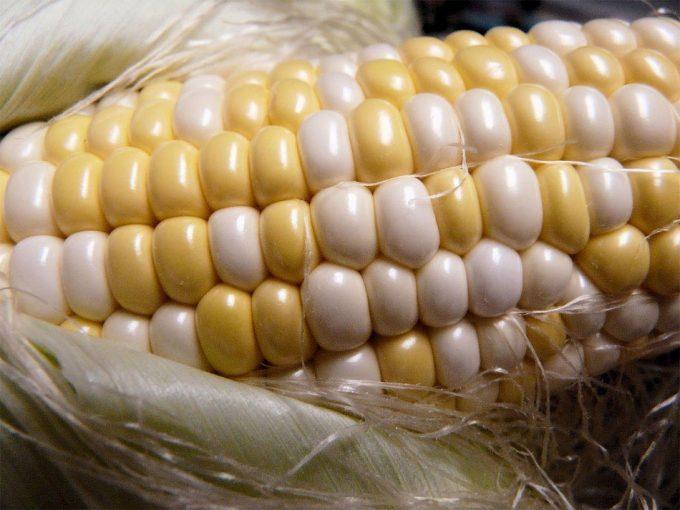 Crecimiento del cultivo de alimentos transgénicos