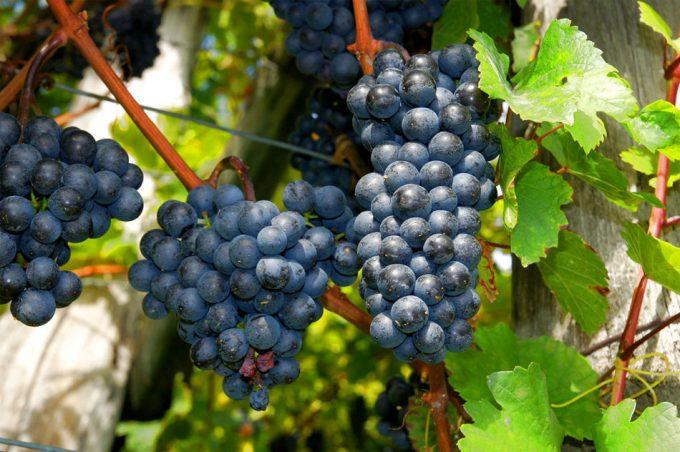 Polifenoles en el vino tinto