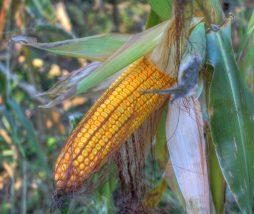 Impacto del ozono en el cultivo de maíz