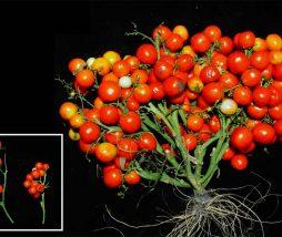 Modificación genética en la planta del tomate