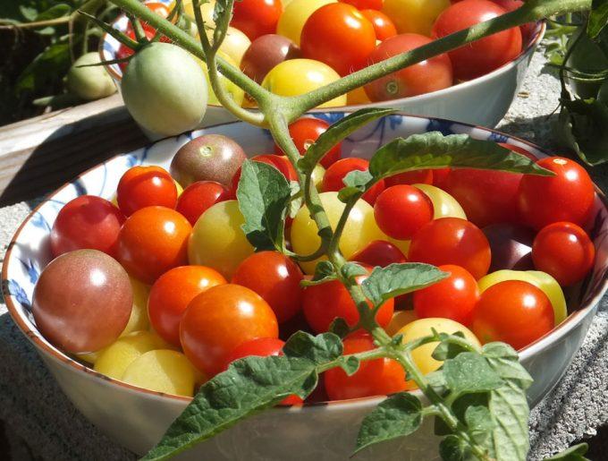 Planta del tomate editada genéticamente