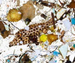 Los peces en estado larvario consumen materiales plásticos