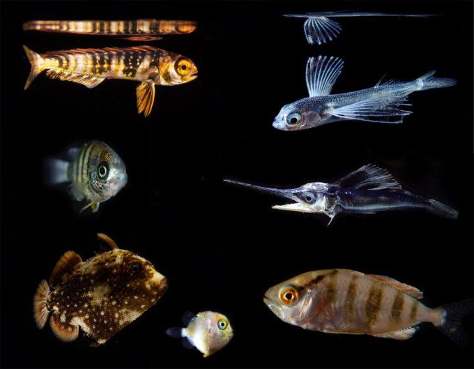 Crías de peces que consumen microplásticos