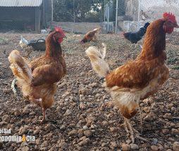Estrés oxidativo en los pollos