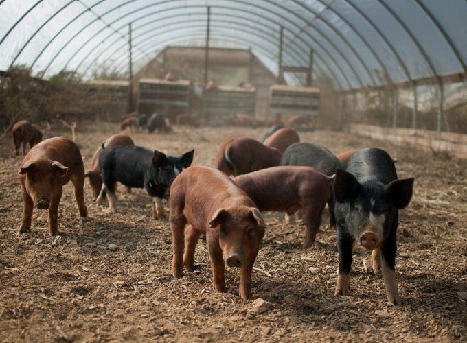 Reconocimiento facial en animales de granja