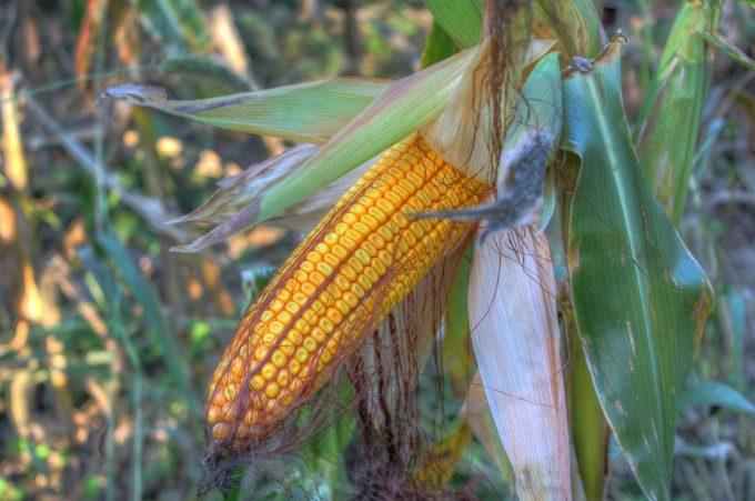 Malas hierbas en el cultivo de maíz